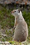 Uinta ground squirrel (Urocitellus armatus), Yellowstone National Park, Wyoming, United States of America, North America Stock Photo - Premium Rights-Managed, Artist: Robert Harding Images, Code: 841-06342483
