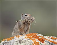 Uinta ground squirrel (Urocitellus armatus) with nesting material, Yellowstone National Park, Wyoming, United States of America, North America Stock Photo - Premium Rights-Managednull, Code: 841-06342495