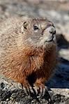 Yellow-bellied marmot (yellowbelly marmot) (Marmota flaviventris), Shoshone National Forest, Wyoming, United States of America, North America Stock Photo - Premium Rights-Managed, Artist: Robert Harding Images, Code: 841-06342563