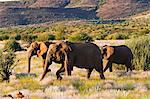 African elephant (Loxodonta africana), Damaraland, Kunene Region, Namibia, Africa Stock Photo - Premium Rights-Managed, Artist: Robert Harding Images, Code: 841-06342701