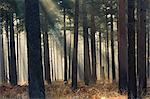 Mist in a pine wood, New Forest National Park, Hampshire, England, United Kingdom, Europe Stock Photo - Premium Rights-Managed, Artist: Robert Harding Images, Code: 841-06343367