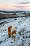 Shetland pony grazing on the snow covered moorland above Meldon Reservoir, Dartmoor National Park, Devon, England, United Kingdom, Europe Stock Photo - Premium Rights-Managed, Artist: Robert Harding Images, Code: 841-06343568