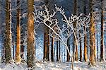Morning sunlight illuminates a snow covered pine woodland, Morchard Bishop, Devon, England, United Kingdom, Europe