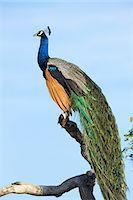 Indian Peafowl (pavo cristatus), Yala National Park, Sri Lanka, Asia Stock Photo - Premium Rights-Managednull, Code: 841-06344454