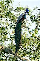 Indian Peafowl (pavo cristatus), Yala National Park, Sri Lanka, Asia Stock Photo - Premium Rights-Managednull, Code: 841-06344457
