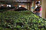 Woman drying tea leaves at Geragama Tea Estate, near Kandy, Sri Lanka, Asia Stock Photo - Premium Rights-Managed, Artist: Robert Harding Images, Code: 841-06344489