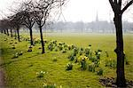 Daffodils on The Stray, Harrogate, North Yorkshire, England Stock Photo - Premium Rights-Managed, Artist: Robert Harding Images, Code: 841-06344977