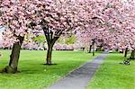 Cherry blossom on The Stray in spring, Harrogate, North Yorkshire, Yorkshire, England, United Kingdom, Europe Stock Photo - Premium Rights-Managed, Artist: Robert Harding Images, Code: 841-06344990