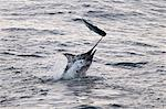 Blue Marlin (Makaira nigricans) hunting Dorado (Coryphaena hippurus), Congo, Africa Stock Photo - Premium Rights-Managed, Artist: Robert Harding Images, Code: 841-06345473