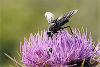 Nectar feeding Horse fly (Pangonius funebris) on Milk thistle (Carduus marianus), Lesbos, Greece Stock Photo - Premium Rights-Managed, Artist: Robert Harding Images, Code: 841-06345489
