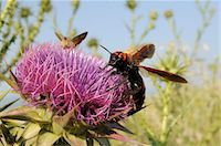 Mammoth wasp (Megascolia maculata maculata) feeding on Milk thistle (marianum), Lesbos, Greece Stock Photo - Premium Rights-Managed, Artist: Robert Harding Images, Code: 841-06345491
