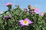 Pink rock rose (hairy rock rose) (Cistus incanus), Lesbos (Lesvos), Greek Islands, Greece, Europe Stock Photo - Premium Rights-Managed, Artist: Robert Harding Images, Code: 841-06345515