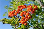 Rowan (mountain ash) (Sorbus aucuparia) berry cluster, Wiltshire, England, United Kingdom, Europe Stock Photo - Premium Rights-Managed, Artist: Robert Harding Images, Code: 841-06345539