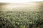 Field of tall grass and wheat Stock Photo - Premium Royalty-Free, Artist: Robert Harding Images, Code: 649-06352765