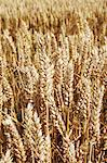 Close up of tall wheat stalks Stock Photo - Premium Royalty-Free, Artist: Michael Mahovlich, Code: 649-06353287