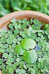Leaves floating in bowl, close-up Stock Photo - Premium Royalty-Free, Artist: CulturaRM, Code: 633-06354867