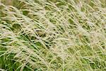 Timothy grass, full frame Stock Photo - Premium Royalty-Free, Artist: Alberto Biscaro, Code: 633-06355013