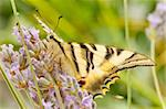 wild butterfly among the flowers of the garden Stock Photo - Royalty-Free, Artist: luiscar                       , Code: 400-06356825