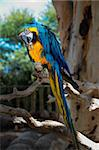 Curious blue-and-yellow macaw, Ara parrot (Psittacidae) Stock Photo - Royalty-Free, Artist: Iryna_Rasko                   , Code: 400-06359763