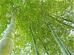 green bamboo trees grow up to blue sky Stock Photo - Royalty-Free, Artist: yuriz                         , Code: 400-06362132