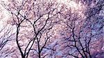 blossom cherry trees over spring sky Stock Photo - Royalty-Free, Artist: yuriz                         , Code: 400-06362135
