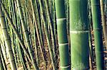 green bamboo forest background: sharp focus on first big pole Stock Photo - Royalty-Free, Artist: yuriz                         , Code: 400-06362136