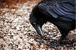 Closeup of black raven standing on ground and looking down Stock Photo - Royalty-Free, Artist: kvkirillov                    , Code: 400-06362605