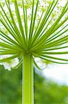 closeup op a giant hogweed plant Stock Photo - Royalty-Free, Artist: hansenn                       , Code: 400-06363130