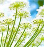 closeup of flowers of a giant hogweed plant Stock Photo - Royalty-Free, Artist: hansenn                       , Code: 400-06363131