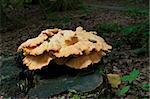 Armillaria Mellea or Honeymushroom on a tree trunk Stock Photo - Royalty-Free, Artist: hansenn                       , Code: 400-06365461