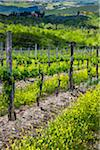 Vineyard, Chianti, Tuscany, Italy Stock Photo - Premium Rights-Managed, Artist: R. Ian Lloyd, Code: 700-06367842