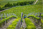 Vineyard, Chianti, Tuscany, Italy Stock Photo - Premium Rights-Managed, Artist: R. Ian Lloyd, Code: 700-06367843