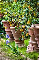 potted plant - Lemon Trees in Panzano, Chianti, Tuscany, Italy Stock Photo - Premium Rights-Managednull, Code: 700-06367853