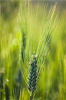 Close up of Wheat, Lilliano, Chianti, Tuscany, Italy Stock Photo - Premium Rights-Managednull, Code: 700-06367867