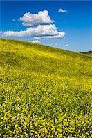 Field of Canola Flowers, San Quirico d'Orcia, Province of Siena, Tuscany, Italy Stock Photo - Premium Rights-Managednull, Code: 700-06367950