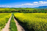 Road Through Field of Canola Flowers, San Quirico d'Orcia, Province of Siena, Tuscany, Italy Stock Photo - Premium Rights-Managednull, Code: 700-06367951