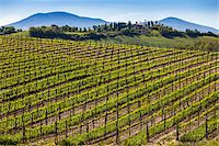 Vineyard, Montalcino, Val d'Orcia, Province of Siena, Tuscany, Italy Stock Photo - Premium Rights-Managednull, Code: 700-06368027