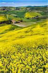 Canola Flowers and Rolling Hillside, Montalcino, Val d'Orcia, Province of Siena, Tuscany, Italy Stock Photo - Premium Rights-Managed, Artist: R. Ian Lloyd, Code: 700-06368032