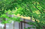 Fresh green maple Stock Photo - Premium Royalty-Free, Artist: Aflo Relax, Code: 622-06369627