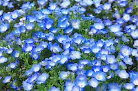 scenic and spring (season) - Nemophila Stock Photo - Premium Royalty-Freenull, Code: 622-06369771