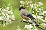 Bullfinch on a branch Stock Photo - Premium Royalty-Freenull, Code: 622-06369909