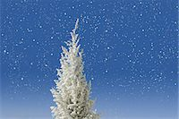 snow christmas tree white - Christmas tree covered with snow Stock Photo - Premium Royalty-Freenull, Code: 622-06369956