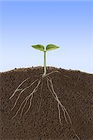 sprout - Roots and sprout Stock Photo - Premium Royalty-Freenull, Code: 622-06369997