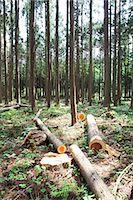 forestry - Japanese cedar woods Stock Photo - Premium Royalty-Freenull, Code: 622-06370065