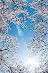 Cherry tree and blue sky Stock Photo - Premium Royalty-Free, Artist: Anna Huber, Code: 622-06370323