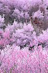 Hanamiyama in Fukushima Stock Photo - Premium Royalty-Free, Artist: AWL Images, Code: 622-06370465