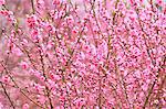 Peach blossoms at Hanamiyama, Fukushima Stock Photo - Premium Royalty-Free, Artist: AWL Images, Code: 622-06370467