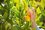Meyer Lemons Being Picked From a Tree Stock Photo - Premium Royalty-Free, Artist: Flowerphotos, Code: 659-06373103