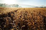 A wheat field in the early morning. Stock Photo - Premium Royalty-Free, Artist: Michael Mahovlich, Code: 682-06374441