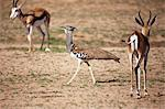 A Kori Bustard walks between two Springbok. Stock Photo - Premium Royalty-Free, Artist: Christina Krutz, Code: 682-06374449